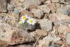 Some  _Eriophyllum lanosum_ flowers