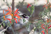 Male Costa's hummingbird #4