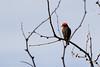 Vermilion flycatcher showing me his back.