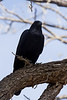 Raven along the De Anza trail in Tubac AZ