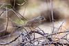 Savannah sparrow - Patagonia Lake State Park