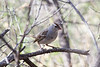 White crowned sparrow along the De Anza trail in Tubac AZ
