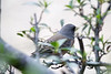 Terrible shot of an Oregon Junco at the Santa Rita Lodge in Madera Canyon