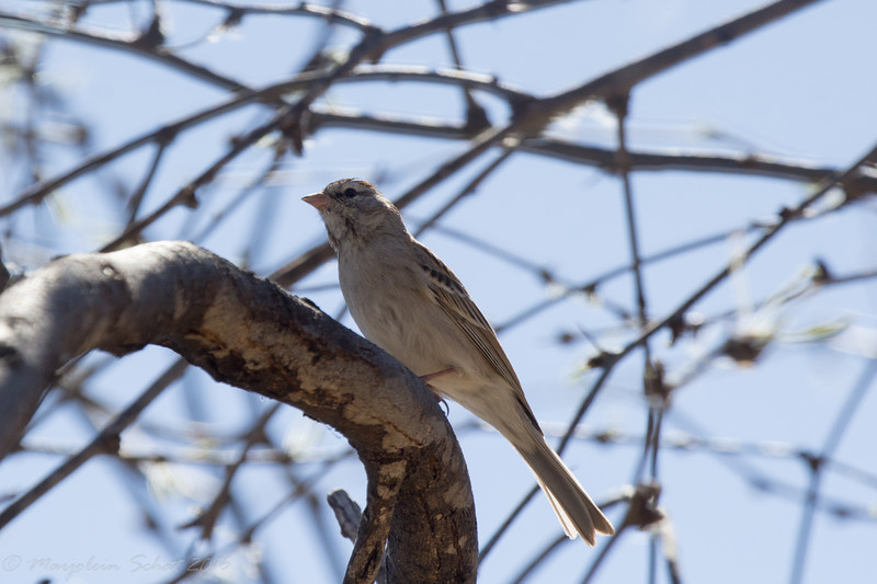 Chipping sparrow - Patagonia Lake State Park