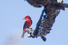 Vermilion flycatcher - Patagonia Lake State Park