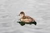 Female ring-necked duck.
