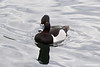 Male ring-necked duck #2