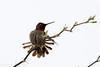 Anna's hummingbird #4