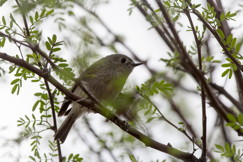 Ruby crowned kinglet #1
