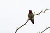 Anna's hummingbird #2