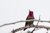 Male Anna's hummingbird.