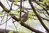 Ruby crowned kinglet #2