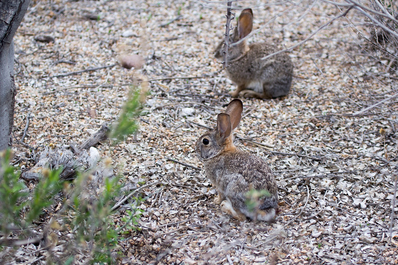 Lots of rabbits out at the Gilbert Riparian preserve this morning.