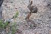 Lots of rabbits out at the Gilbert Riparian preserve this morning.