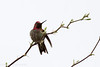 Anna's hummingbird #3