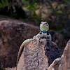 Male desert spiny lizard posing for me.
