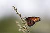Monarch on a twig
