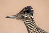 Intimate portrait of a roadrunner