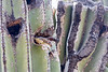 House sparrow in a hole in a saguaro cactus