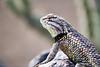 Close up of a desert spiny lizard