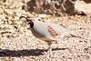 Male Gambel's quail