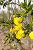 Flowering creosote bush.