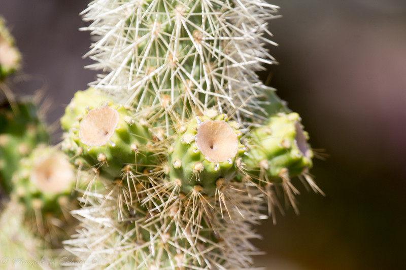 Close up of a cholla cactus
