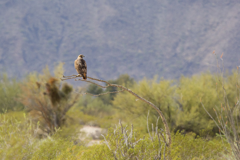 Red tailed hawk on the back roads near Ajo, AZ on the way from Organ Pipe to the thrasher spot.