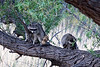 Two of the four raccoons I saw that morning. There were initially three in this tree.