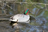 Green winged teal in motion