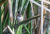 Raggedy wren in the reeds. I believe it was a Marsh wren