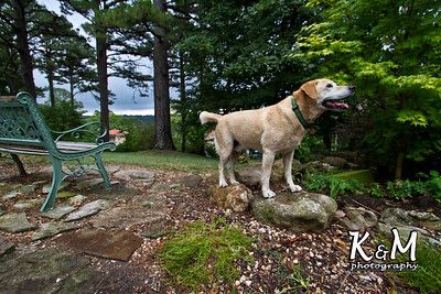 Rosco the yellow lab @ Crescent Hotel in Eureka Springs