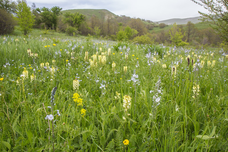 Wild flower meadow with Pedicularis condensata and Veronica gentianoides