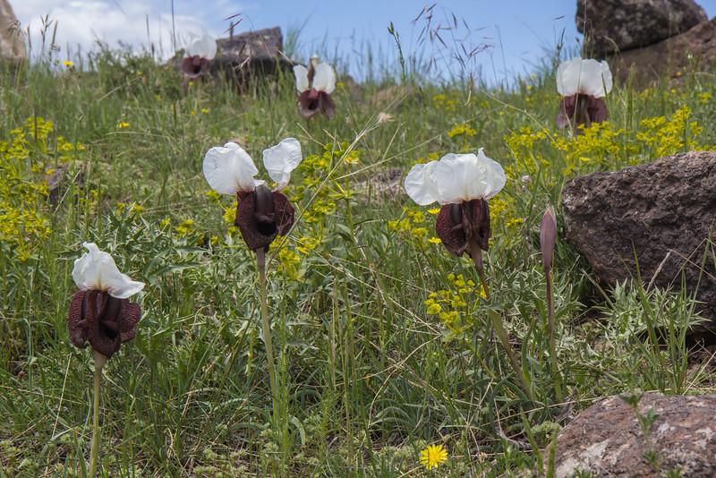 Iris iberica ssp lycotis