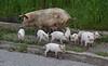 Pigs roam free
