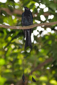 Greater Racket-tailed Drongo Catchment area, Singapore July 02, 2011 IMG_2986