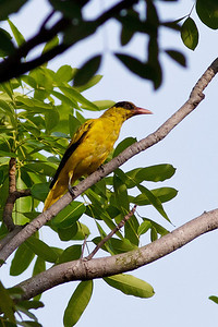 Black-naped Oriole Catchment area, Singapore July 02, 2011 IMG_2145