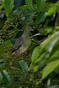 Pink-necked Green Pigeon Catchment area, Singapore July 02, 2011 IMG_2761