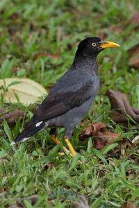 Javan Mynah Catchment area, Singapore July 02, 2011 IMG_2726