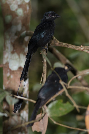 Greater Racket-tailed Drongo Catchment area, Singapore July 02, 2011 IMG_3008