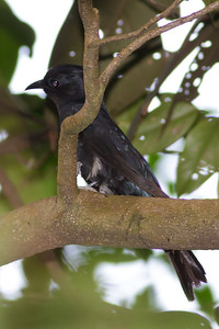 Asian Drongo-cuckoo Catchment area, Singapore July 02, 2011 IMG_2416