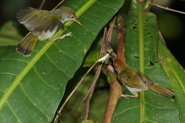 Dark-necked Tailorbird Catchment area, Singapore July 02, 2011 IMG_3165