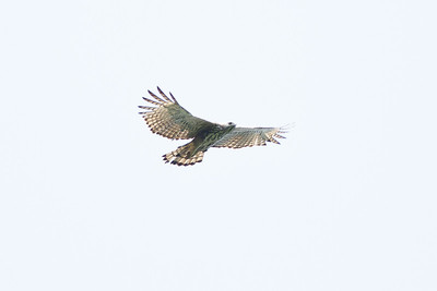 Changeable Hawk-eagle Catchment area, Singapore July 02, 2011 IMG_2450