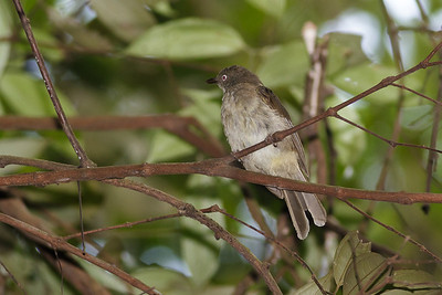 Cream-vented Bulbul Catchment area, Singapore July 02, 2011 IMG_2980