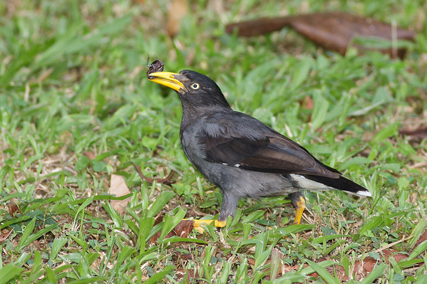 Javan Mynah Catchment area, Singapore July 02, 2011 IMG_2727