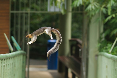 Giant Squirrel November 2012 Sepilok, Sabah IMG_1710