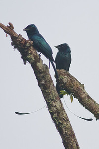 Lesser Racket-tailed Drongo October, 2012 Bukit Fraser IMG_0004