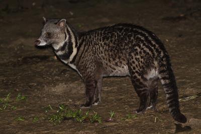Malay Civet November 2012 Kinabatangan River, Sabah IMG_3128