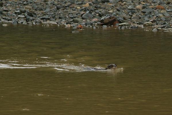 Smooth Otter November 2012 Danum Valley, Sabah IMG_4074