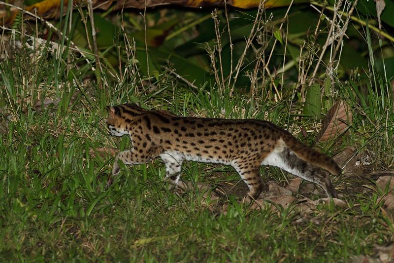 Leopard Cat November, 2012 Danum Valley, Sabah IMG_3644